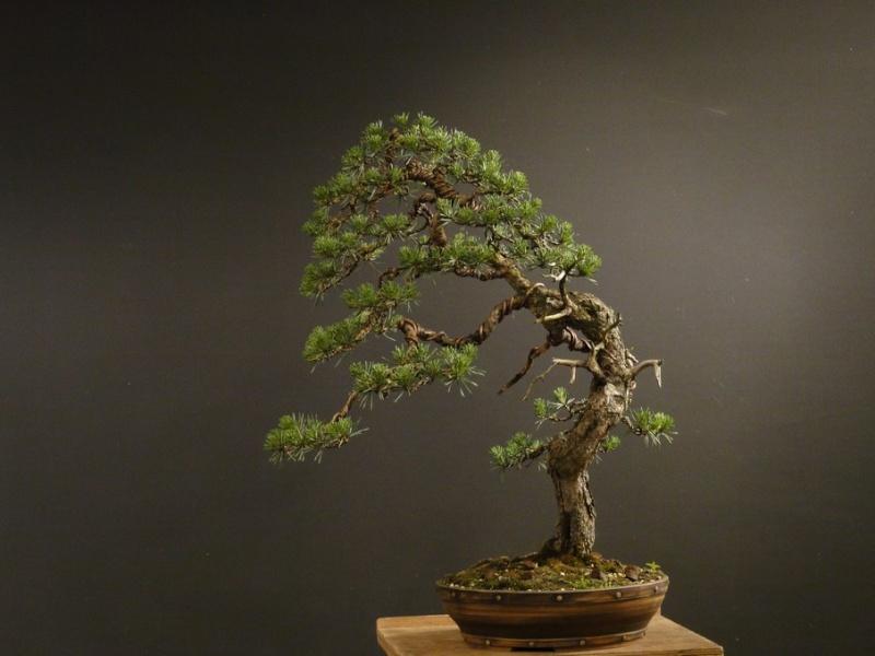 Pinus sylvestris - wider trunk - Page 2 Jaro-s10