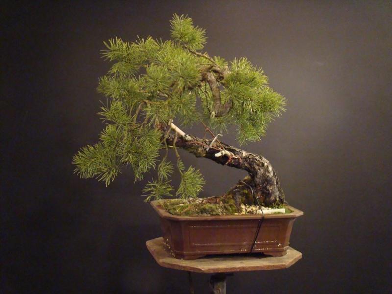 "Pinus sylvestris 2005 - ""Transformations "" Od_110"