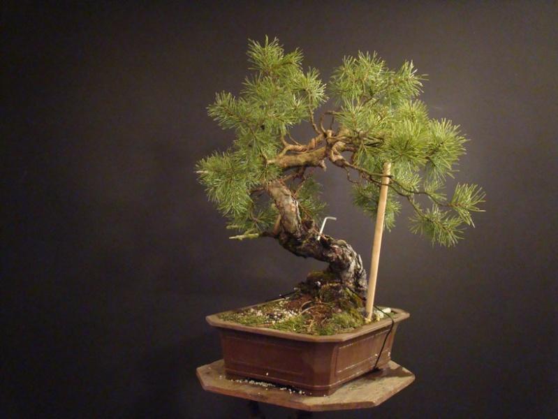"Pinus sylvestris 2005 - ""Transformations "" Od_1210"