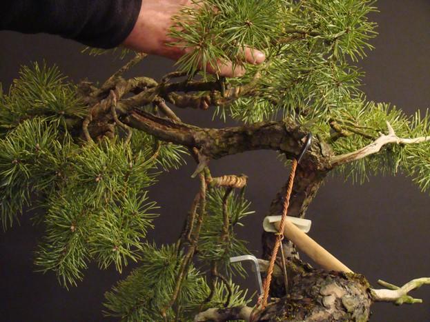 "Pinus sylvestris 2005 - ""Transformations "" Od_310"