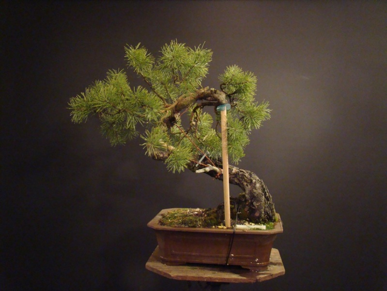 "Pinus sylvestris 2005 - ""Transformations "" Od_510"