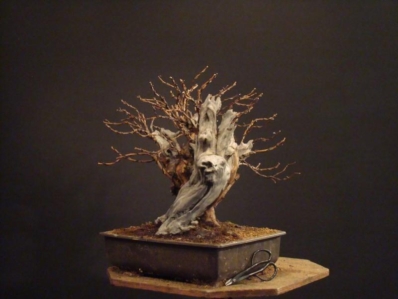 Physocarpus opulifolius Odl_0010