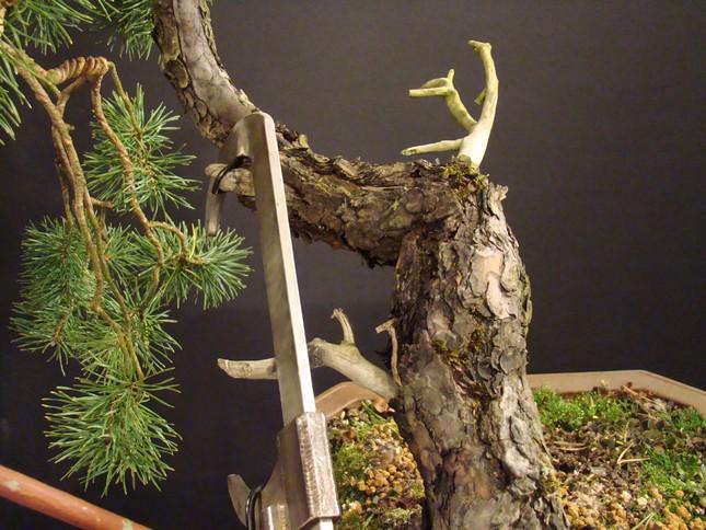 "Pinus sylvestris 2005 - ""Transformations "" Oh-18-10"