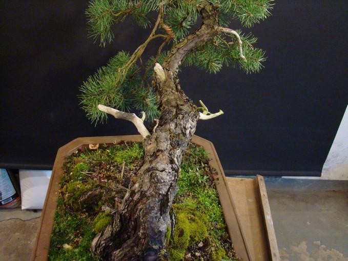 "Pinus sylvestris 2005 - ""Transformations "" Oh-3-10"