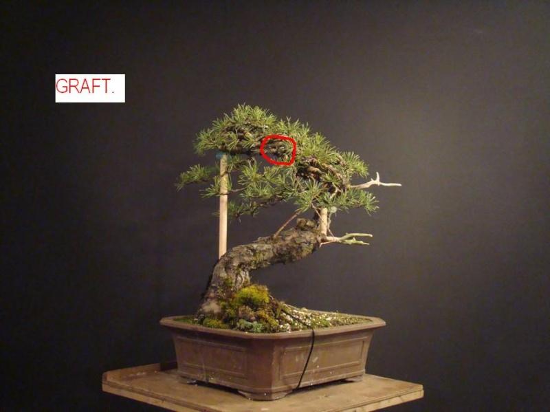 "Pinus sylvestris 2005 - ""Transformations "" Ohr-6-10"