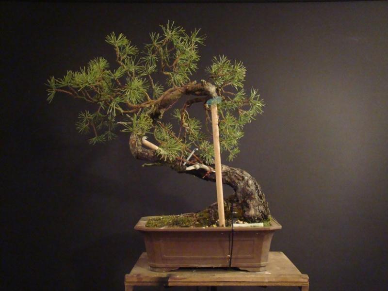 "Pinus sylvestris 2005 - ""Transformations "" Ohr_110"