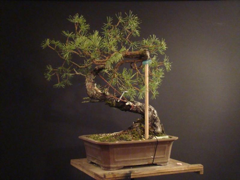 "Pinus sylvestris 2005 - ""Transformations "" Ohr_210"