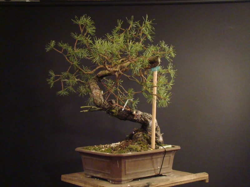 "Pinus sylvestris 2005 - ""Transformations "" Ohr_310"