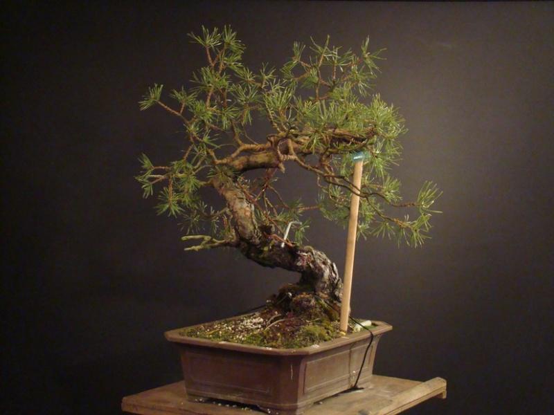 "Pinus sylvestris 2005 - ""Transformations "" Ohr_410"