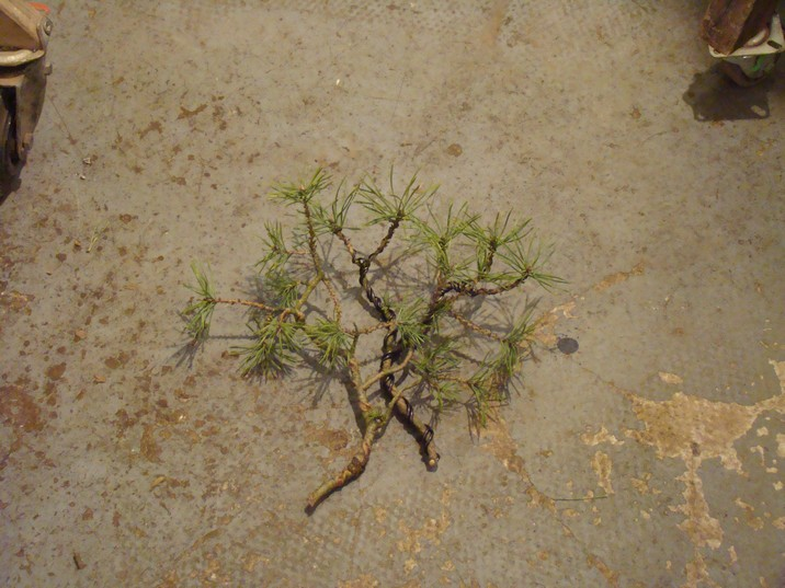 "Pinus sylvestris 2005 - ""Transformations "" Ohr_510"