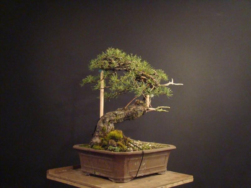 "Pinus sylvestris 2005 - ""Transformations "" Ohr_610"