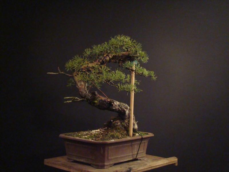 "Pinus sylvestris 2005 - ""Transformations "" Ohr_710"