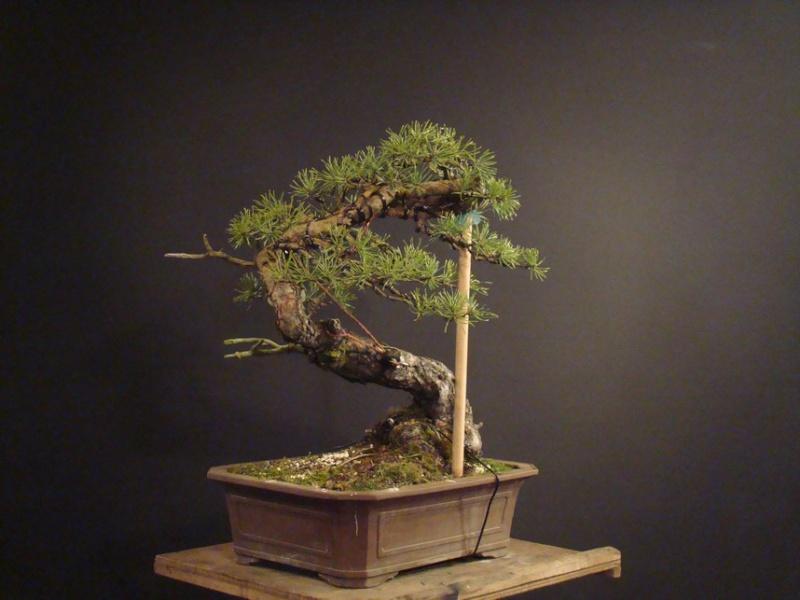 "Pinus sylvestris 2005 - ""Transformations "" Ohr_810"