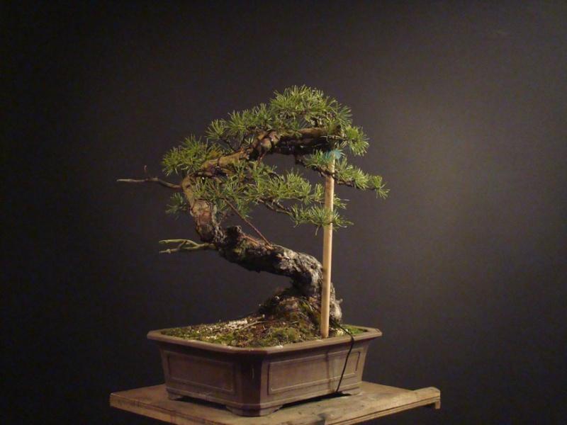 "Pinus sylvestris 2005 - ""Transformations "" Ohr_910"