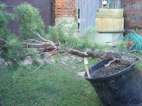 "Pinus sylvestris 2005 - ""Transformations "" Ohyb-210"