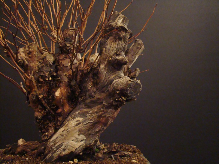Physocarpus opulifolius Pho_1510