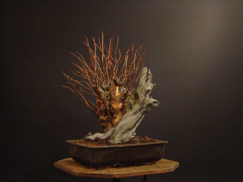 Physocarpus opulifolius Pho_3310