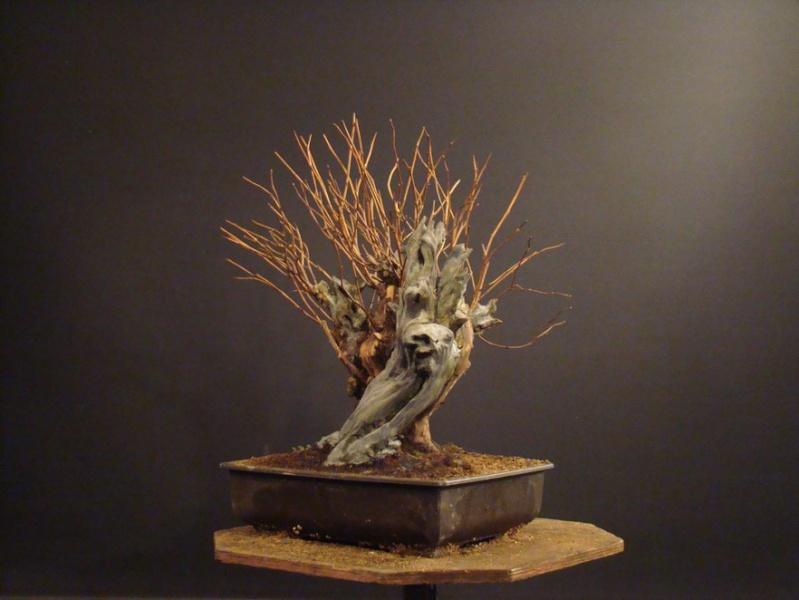Physocarpus opulifolius Pho_3810