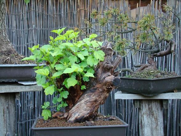 Physocarpus opulifolius Pho_910