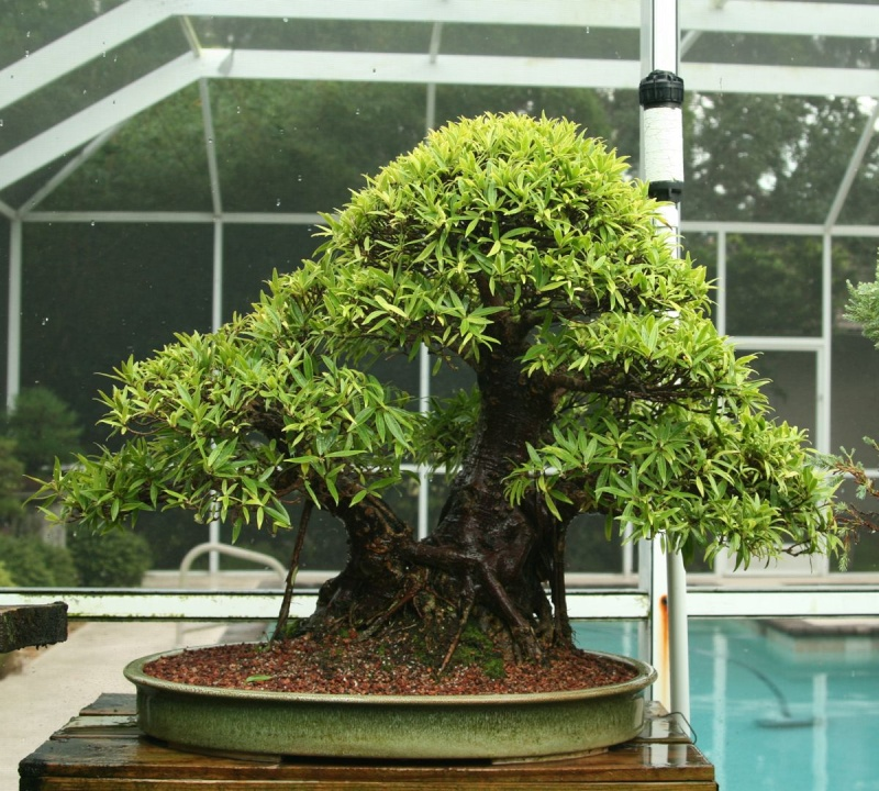 Repotting a Trident Ficus 1210