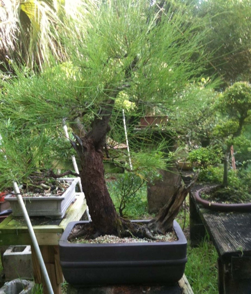 Aussy Pine Update Aussy_10