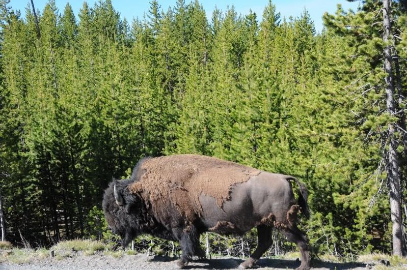 Parc National Yellowstone Dsc_7513