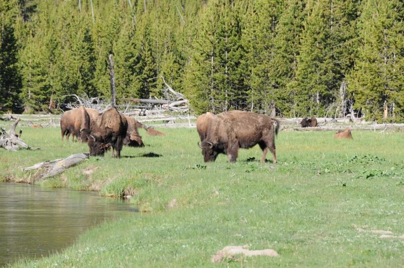 Parc National Yellowstone Dsc_7514