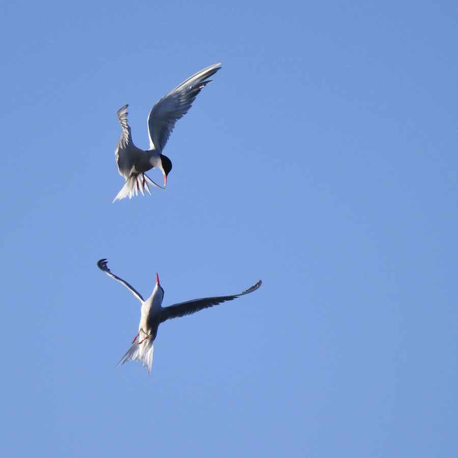 Combat de sternes en plein vol 2016-034