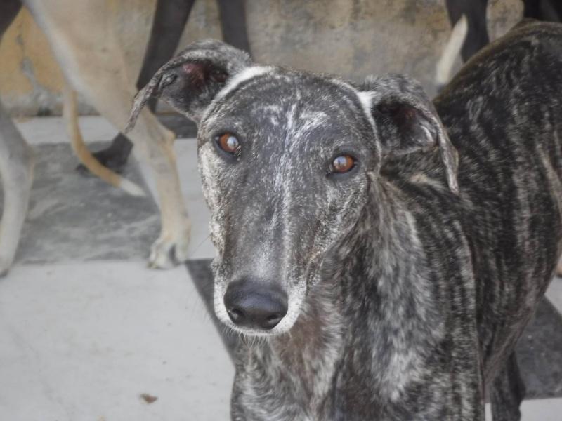 Flecha, galga bringée, 2 ans.Scooby France Adoptée  13443210