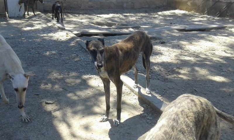 Ely galga née en 2012 Scooby France Adoptée  13533010