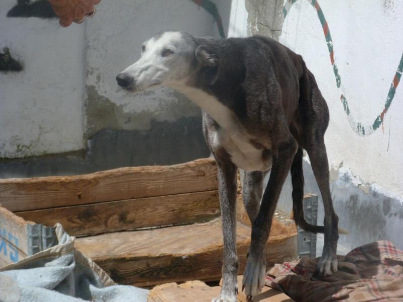 Bruja, galga grise et blanche, 5 ans Adoptée  - Page 2 13558610