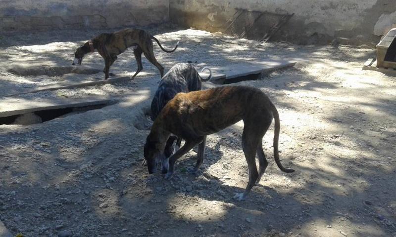 Ely galga née en 2012 Scooby France Adoptée  13592210
