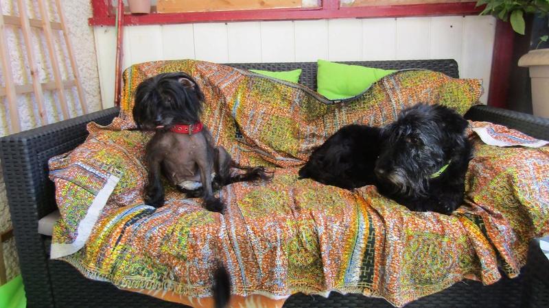 LHANI et FLAM, deux petites chiennes chinoises - ADOPTÉES 13692910