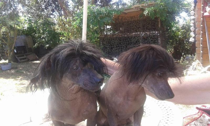 LHANI et FLAM, deux petites chiennes chinoises - ADOPTÉES 13698110