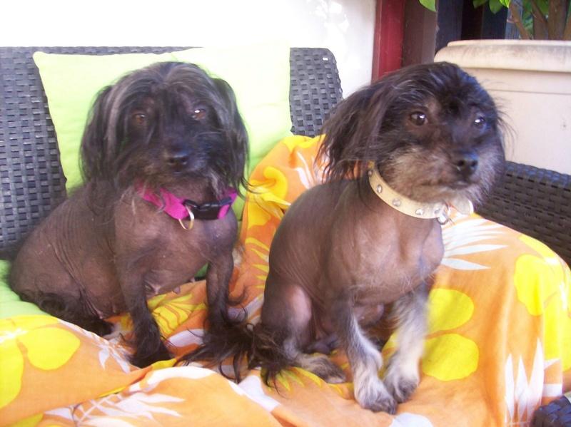 LHANI et FLAM, deux petites chiennes chinoises - ADOPTÉES 13730910