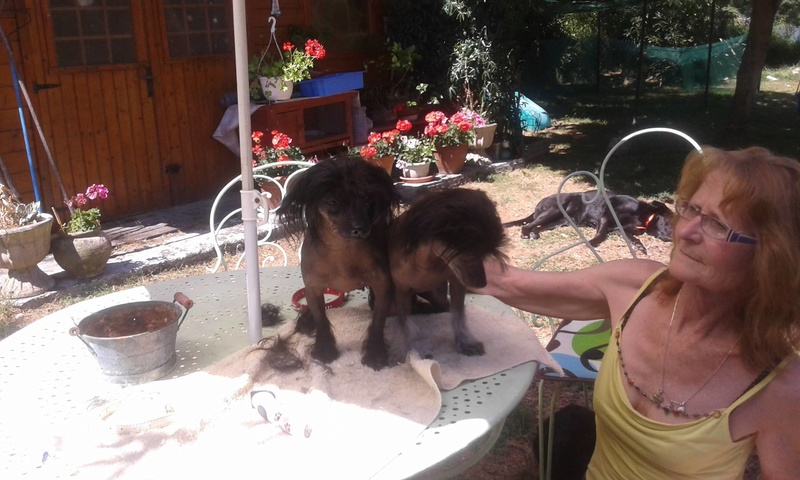 LHANI et FLAM, deux petites chiennes chinoises - ADOPTÉES 13735510