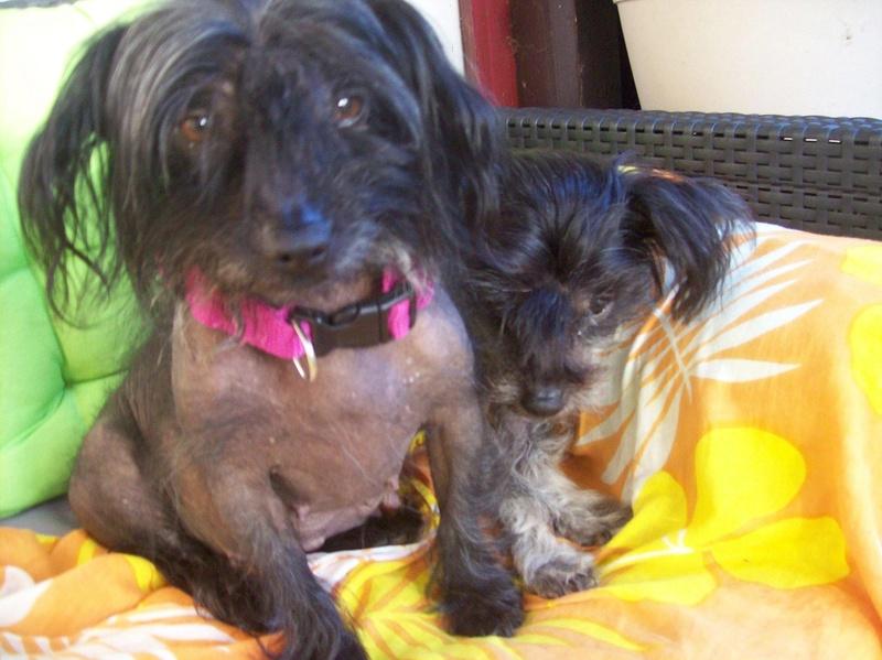 LHANI et FLAM, deux petites chiennes chinoises - ADOPTÉES 13737510