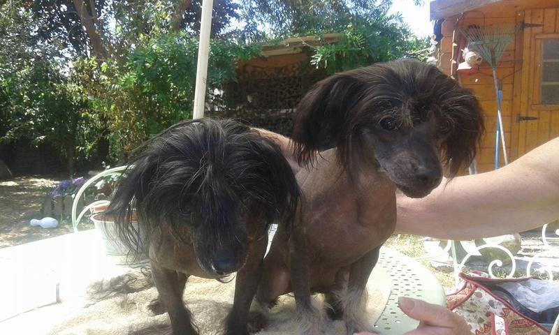 LHANI et FLAM, deux petites chiennes chinoises - ADOPTÉES 13767311