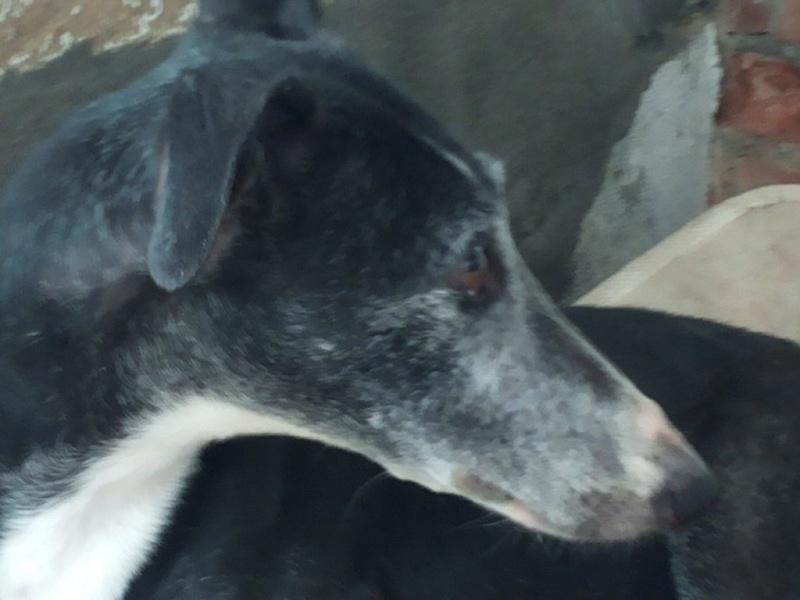 Luna, galga noire et blanche 7 ans Adoptée  20160619