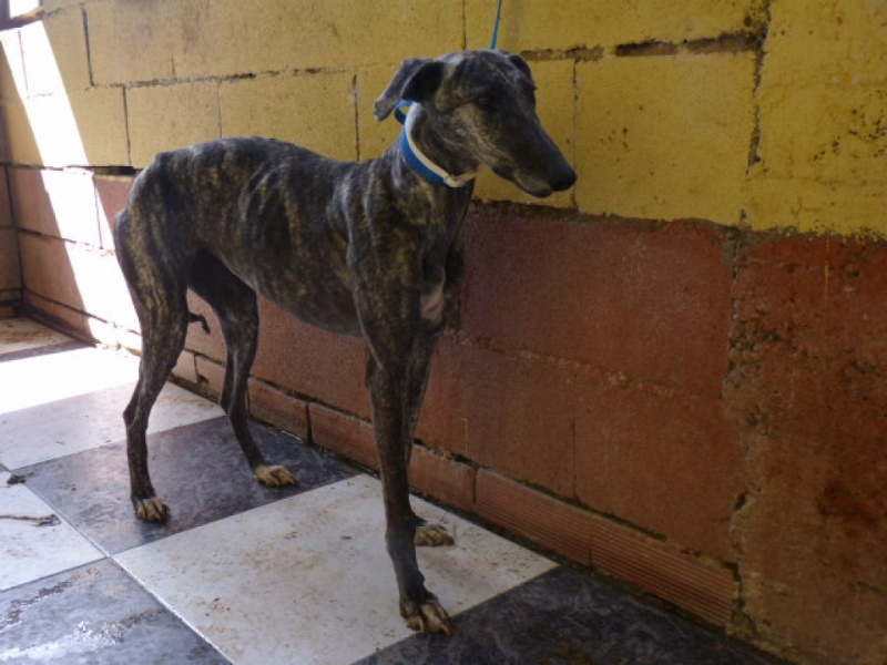 Flecha, galga bringée, 2 ans.Scooby France Adoptée  P1270910