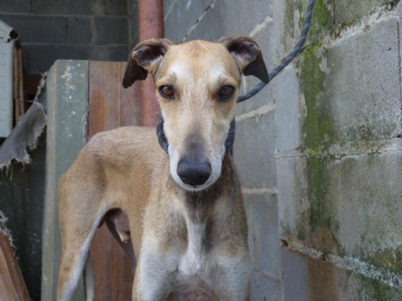 TESON, galgo marron/ gris, 4 ans à l'adoption  Scooby France Adopté P1320011