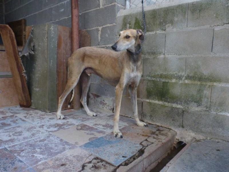 TESON, galgo marron/ gris, 4 ans à l'adoption  Scooby France Adopté P1320012