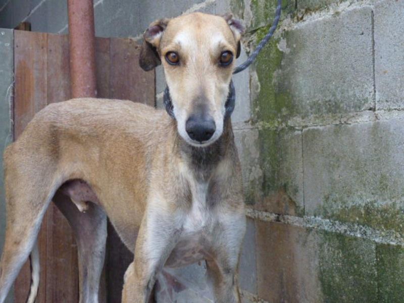 TESON, galgo marron/ gris, 4 ans à l'adoption  Scooby France Adopté P1320014