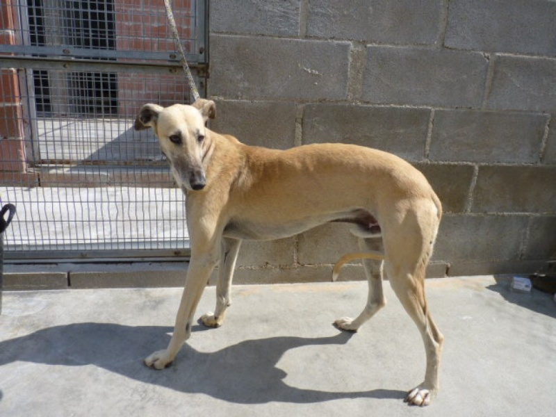 Chaky galgo  beige, 5 ans P1320615