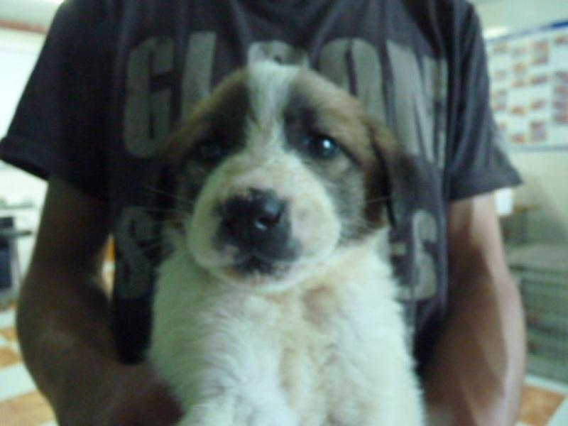 Pepon, bébé mastin mix marron et blanc, 3 mois P1320912
