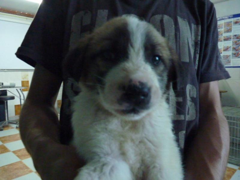 Pepon, bébé mastin mix marron et blanc, 3 mois P1320913