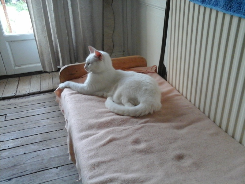 BLANC - Titi, Chat blanc, 9ans, castré! Titi_y13