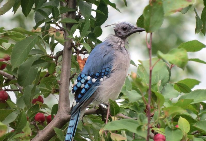 Un geai bleu à identifier: est-ce un jeune ou est-il malade ? Geai_b13