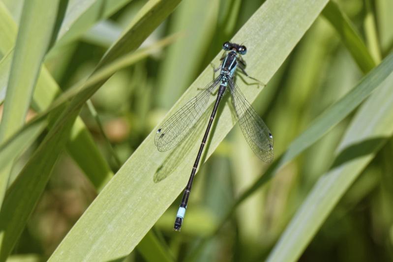Ischnura elegans Ischnu10