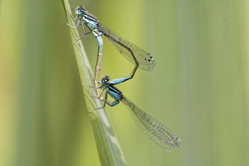Ischnura elegans Ischnu11